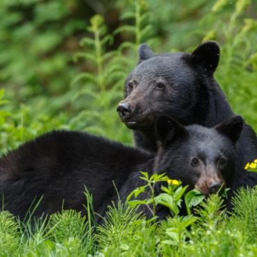 Zwarte beren Canada