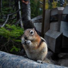 Chipmunk, foto: Samantha van Leeuwen