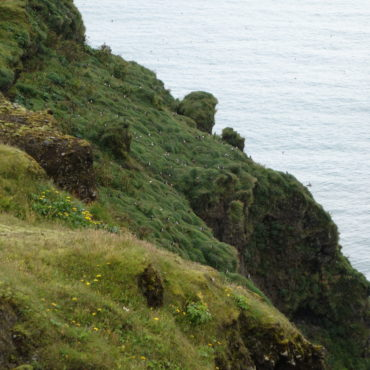 Groep papegaaiduikers in Zuid-IJsland