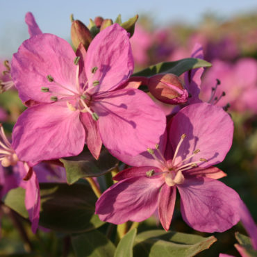 Chamerion latifolium, het wilgenroosje