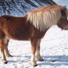 IJslands paard bij de Shark farm in West-IJsland