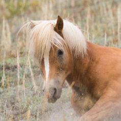 Wild paard Ross River, Yukon