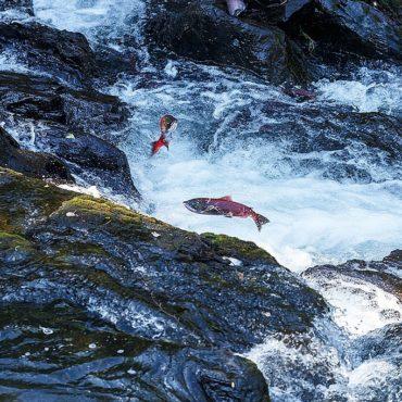 Springende zalm Alaska