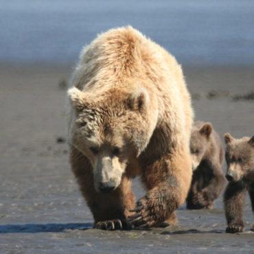 Bruine beer met kleintjes, Alaska
