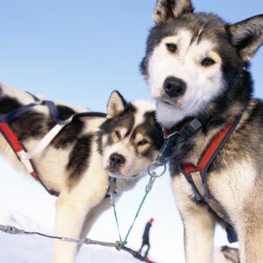Huskies, Groenland