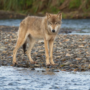 Wolf in Katmai National Park